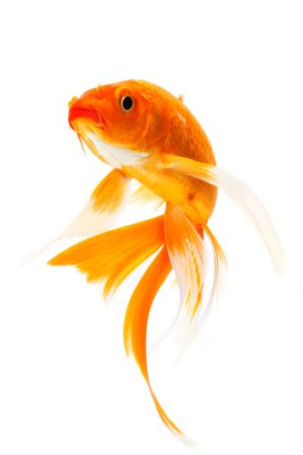 Fish Veterinary Medicine
